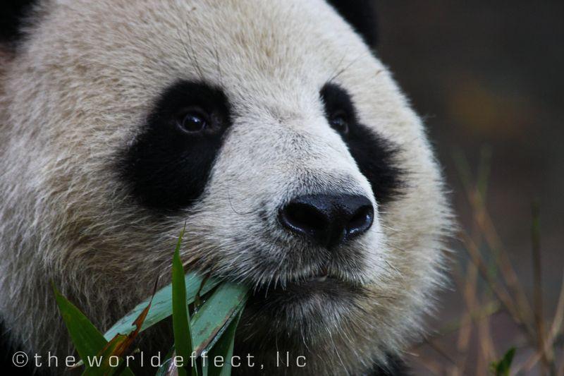panda 8